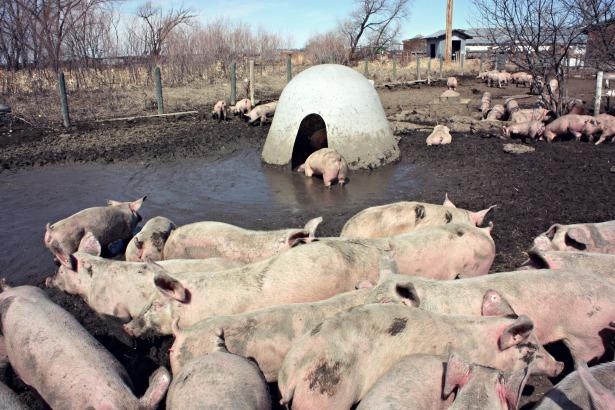 Piggies5