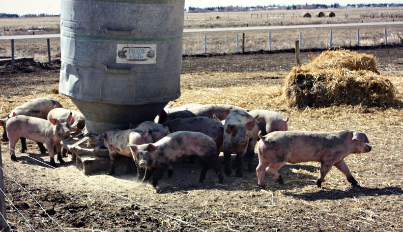 Piggies6