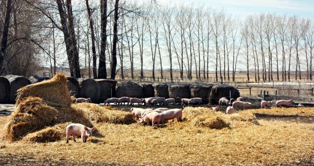 Piggies7