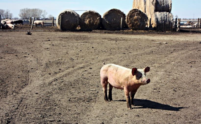 Piggies8