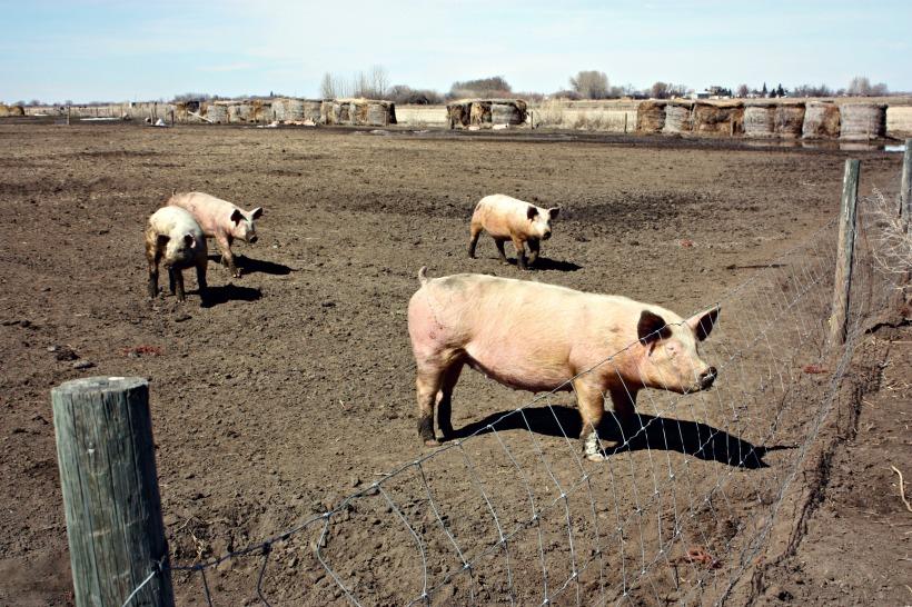 Piggies9