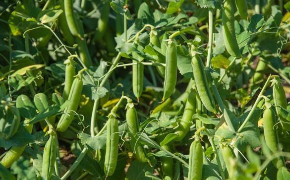 edgar-farms peas